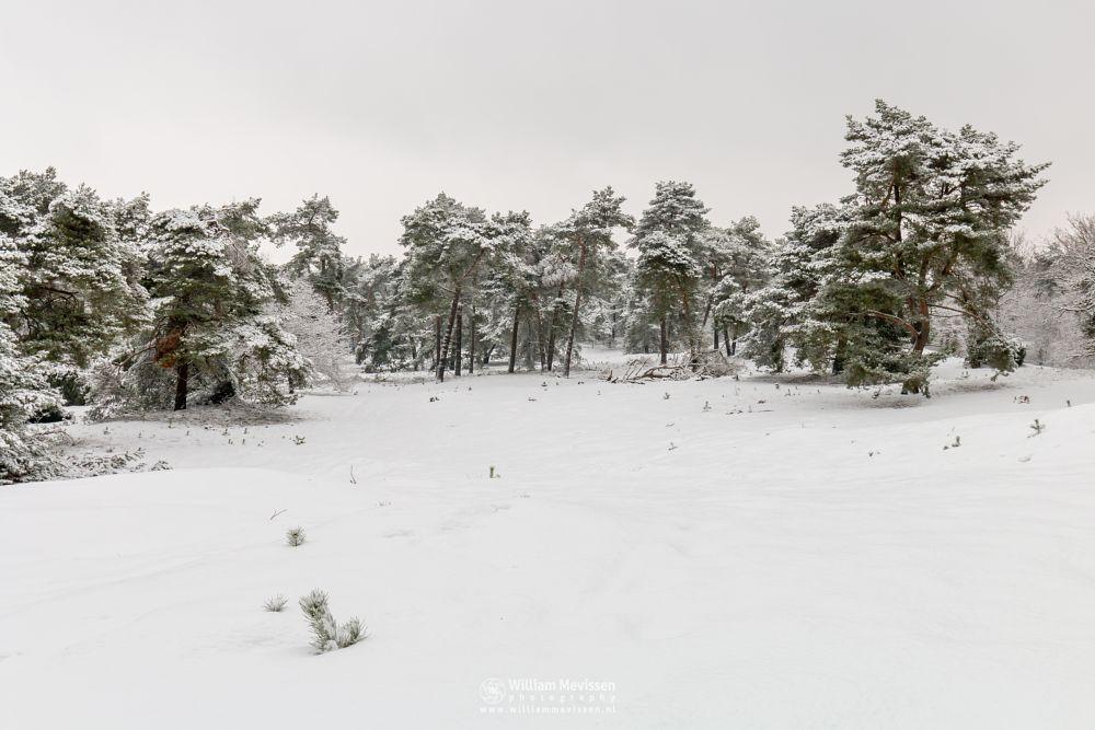 Photo in Landscape #boshuizerbergen #boschhuizerbergen #venray #nature #limburg #netherlands #juniper #winter #snow #dunes #winterlandscape #winterscape #trees #woods #noord-limburg