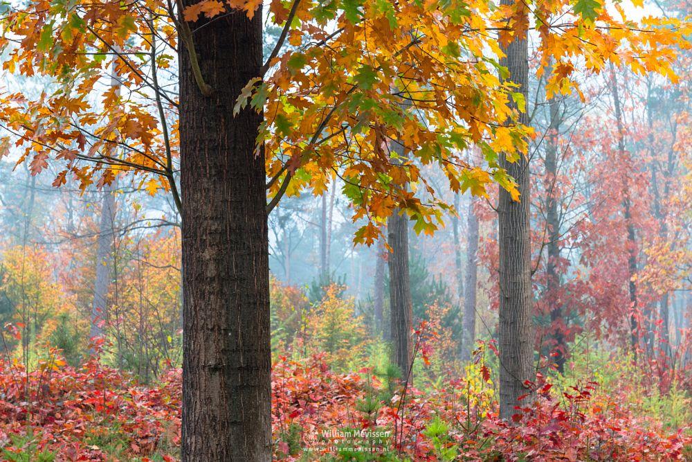 Photo in Nature #geijsteren #oostrum #venray #limburg #nature #forest #woods #landgoed geijsteren #geysteren #autumn #noord-limburg #mist #trees #tones #colors #palette #fog