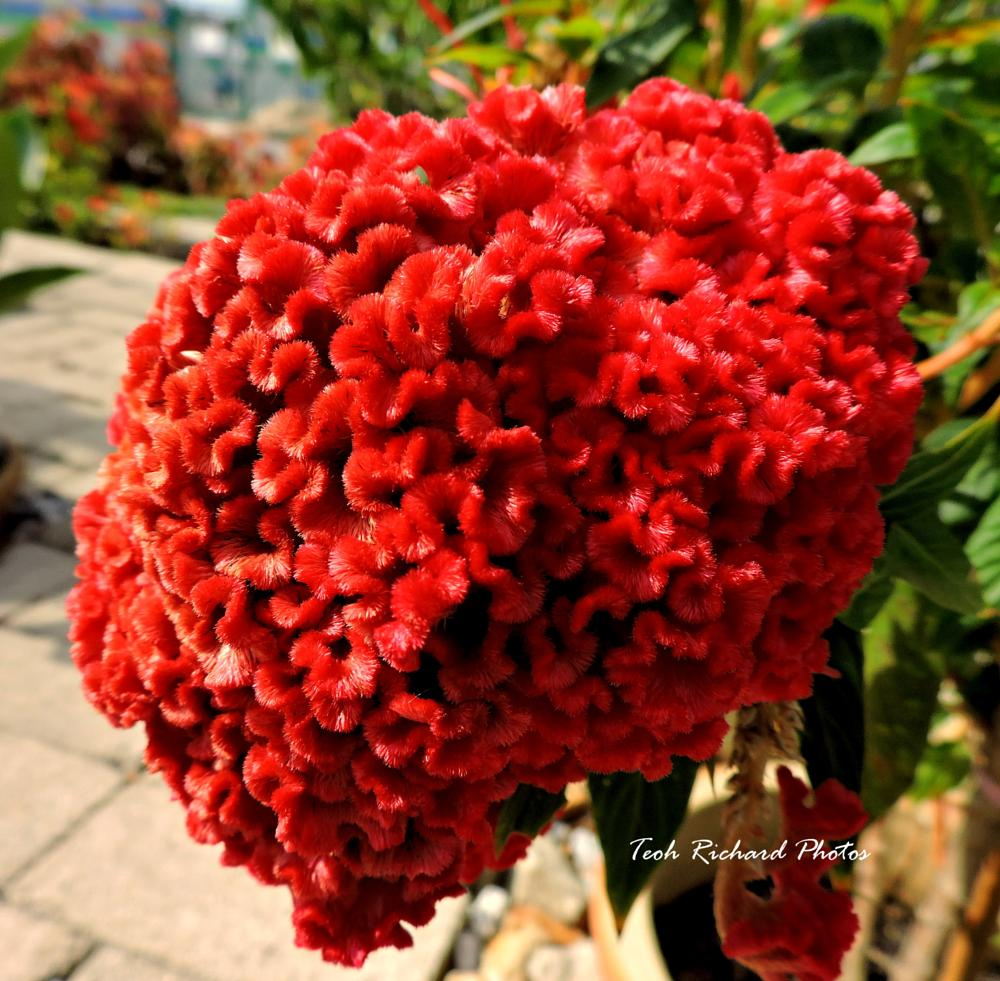Photo in Nature #cockscomb #red #nature