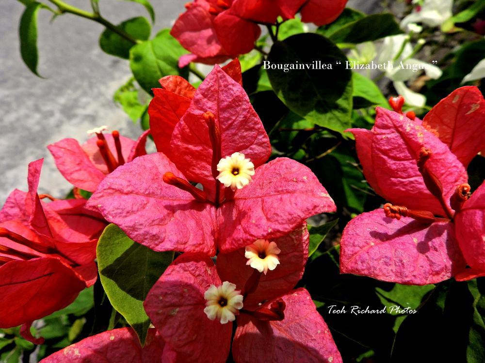 Photo in Nature #bougainvilla #red #nature