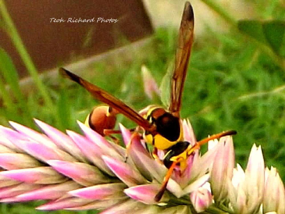 Photo in Macro #wasp #nectar #macro
