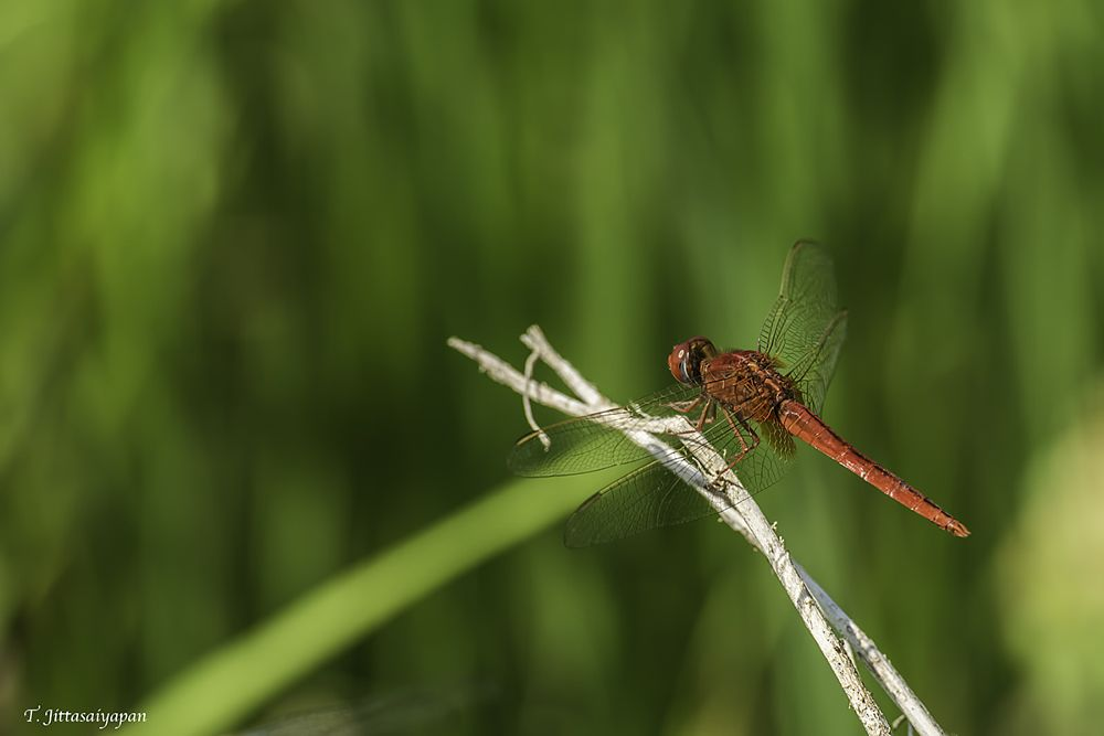 Photo in Animal #insect #dragonfly #nature