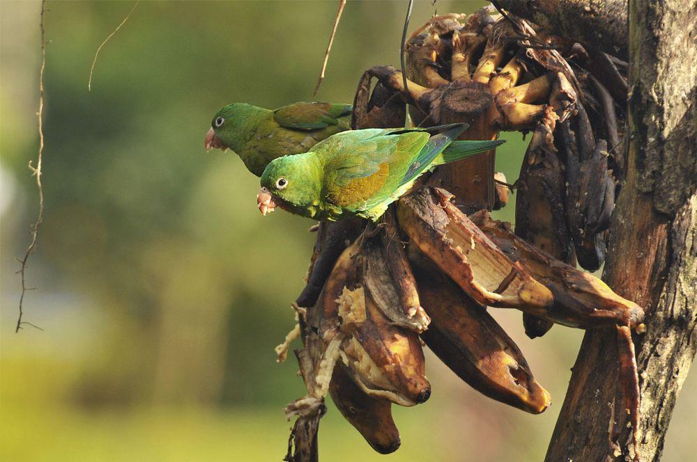 Photo in Animal #bird #birds #fruits #tree #orange-chinned-parakeet #parakeet #nature #feathers #food #bananas #close-up