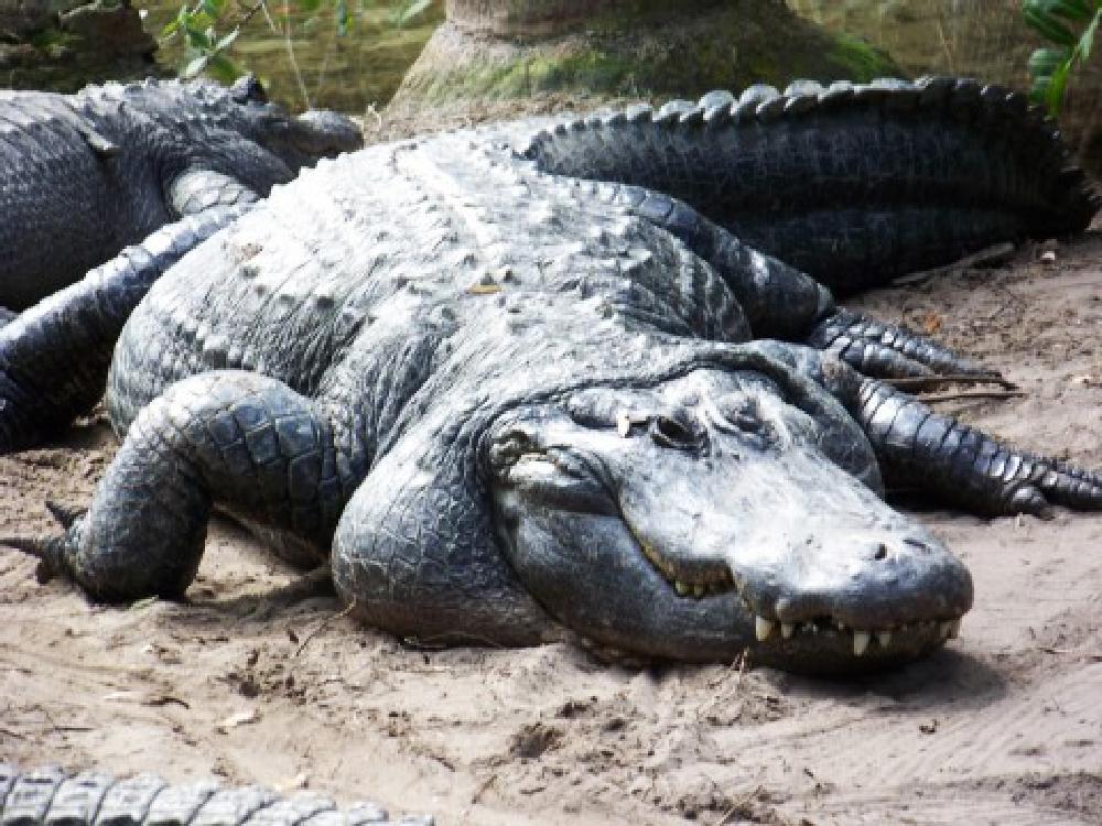 Photo in Animal #animal #alligator #big