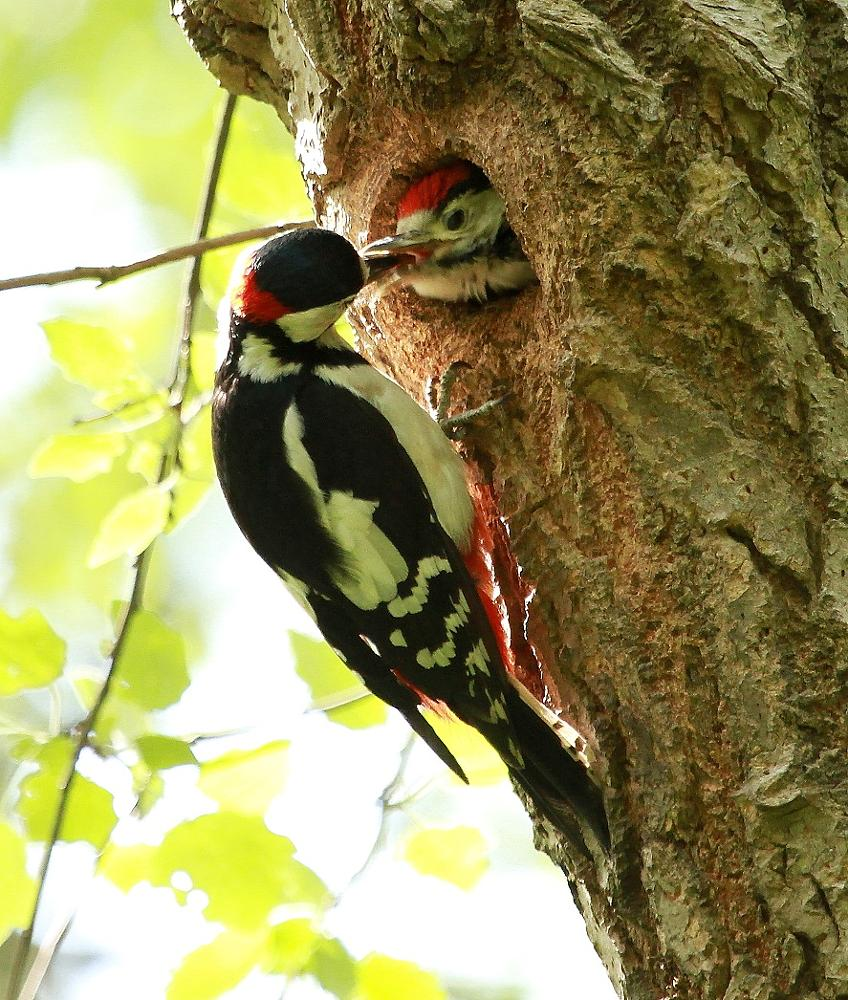 Photo in Nature #great spotted woodpecker #woodpeckers #birds #nature #pecker #young #tree