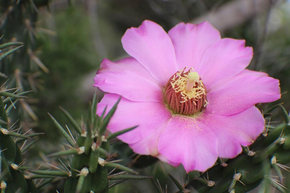 Photo in Nature #colorado wildflowers #walking stick cactus