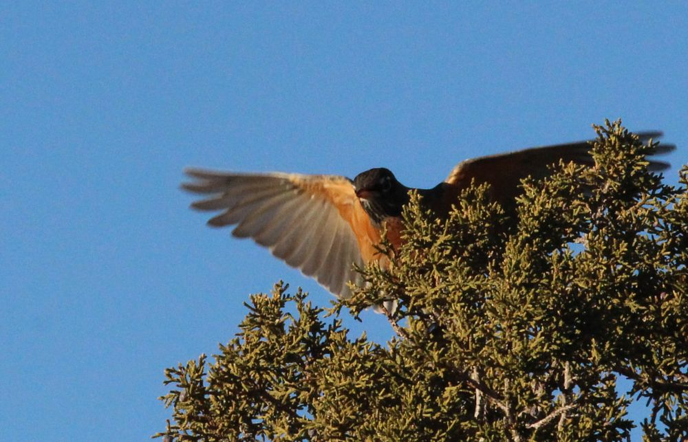 Photo in Nature #wild birds colorado #robin
