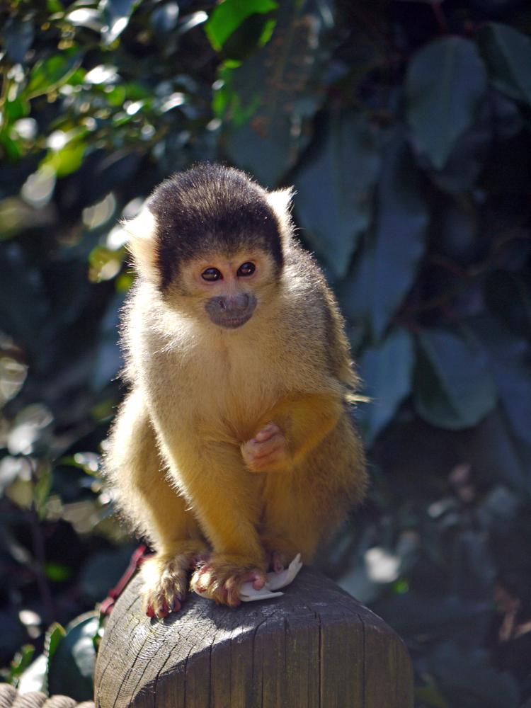 Photo in Animal #monkey #baby bolivian squirrel monkey #london #zoo #sweet #baby #bolivian