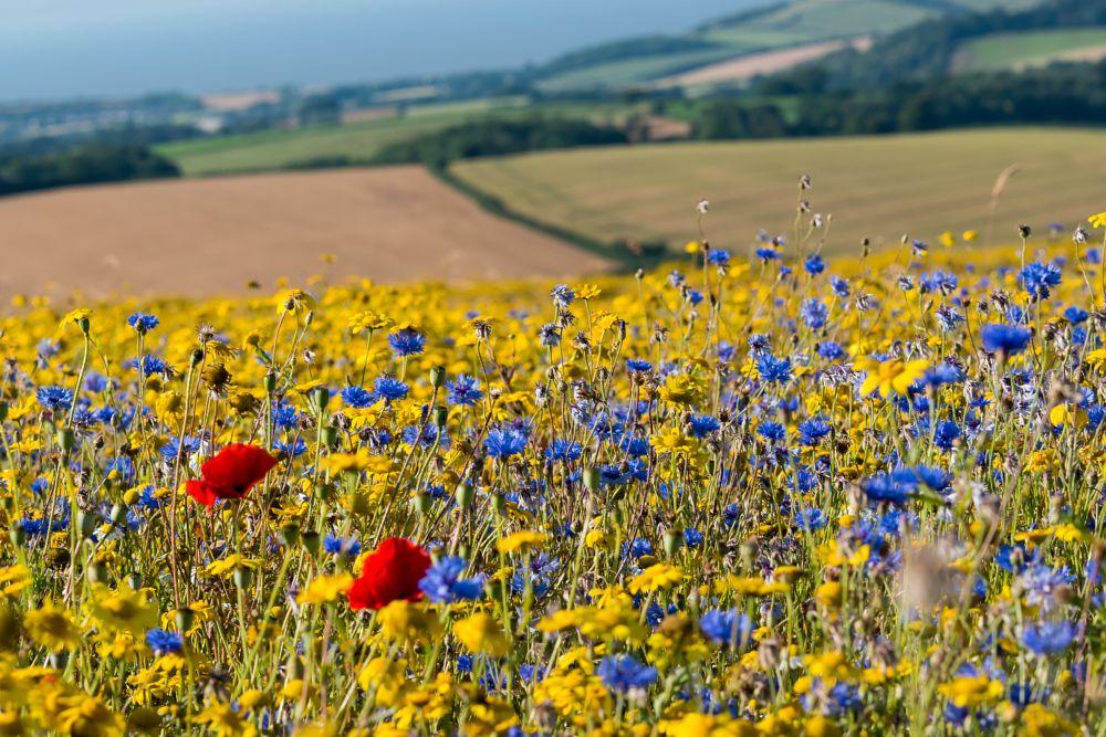 Photo in Landscape #landscape #fields #uk #england #flowers #rural