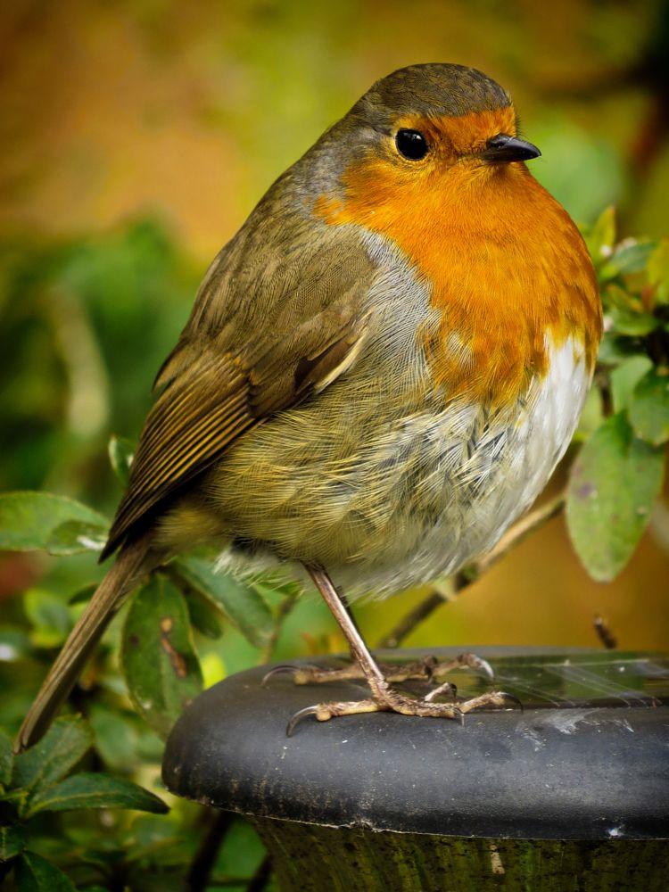 Photo in Animal #robin #bird