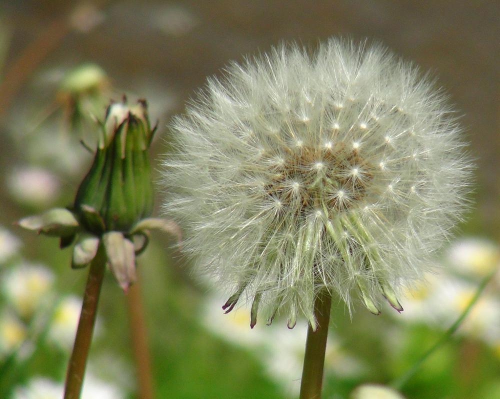 Photo in Nature #dandilion #seed clock #blowballs