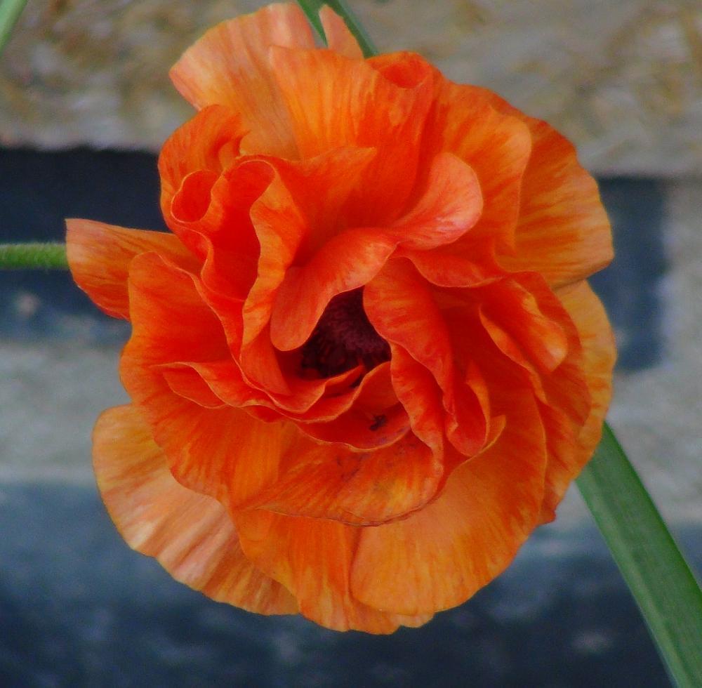 Photo in Nature #asiaticus orange #rununculas #bulb flower