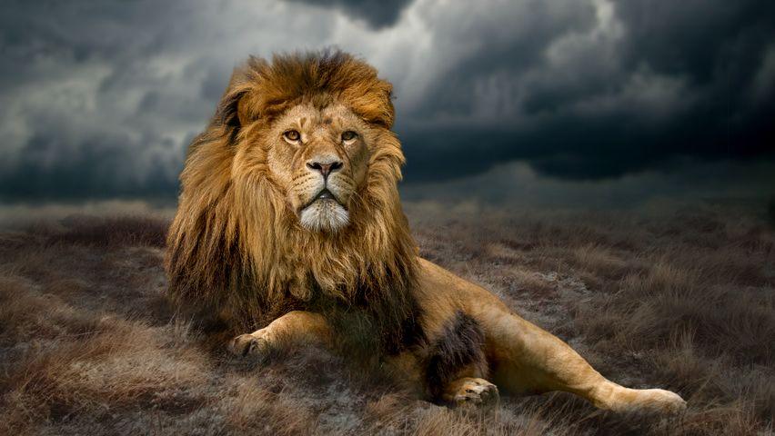 Photo in Animal #lion #king #male lion #animal #cat #wildlife #photoshop