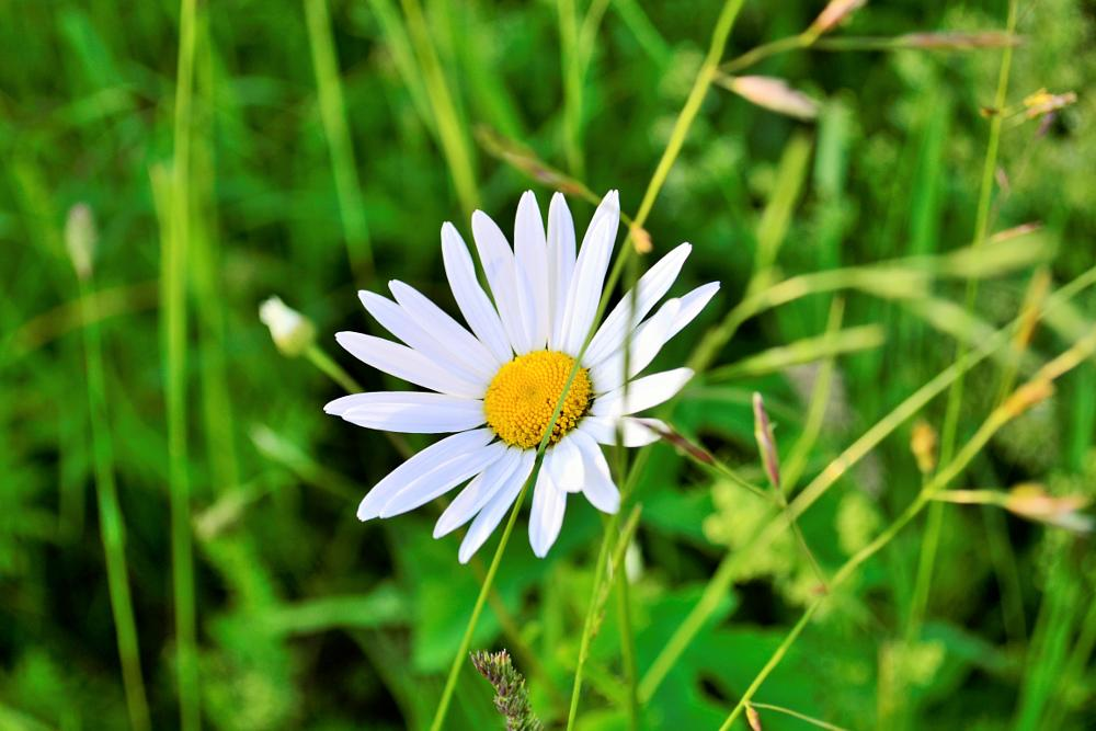 Photo in Nature #camomile #flower #nature #summer