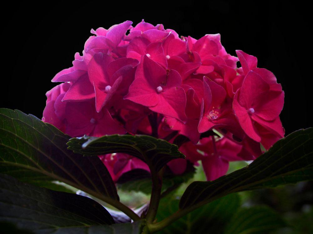 Photo in Macro #macro #hydrangea #pink #garden #nature #monarch #canon powershot pro1