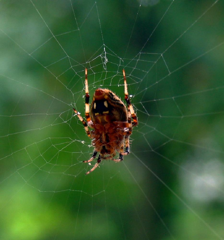Photo in Macro #insect #spider #wed #nature #macro