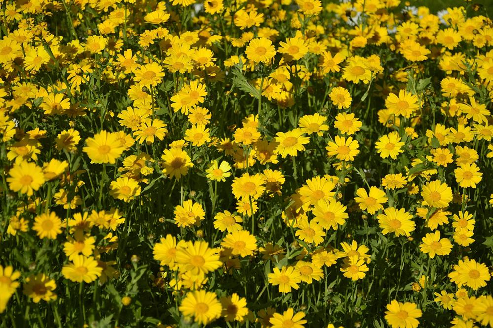 Photo in Nature #yellow #flowers