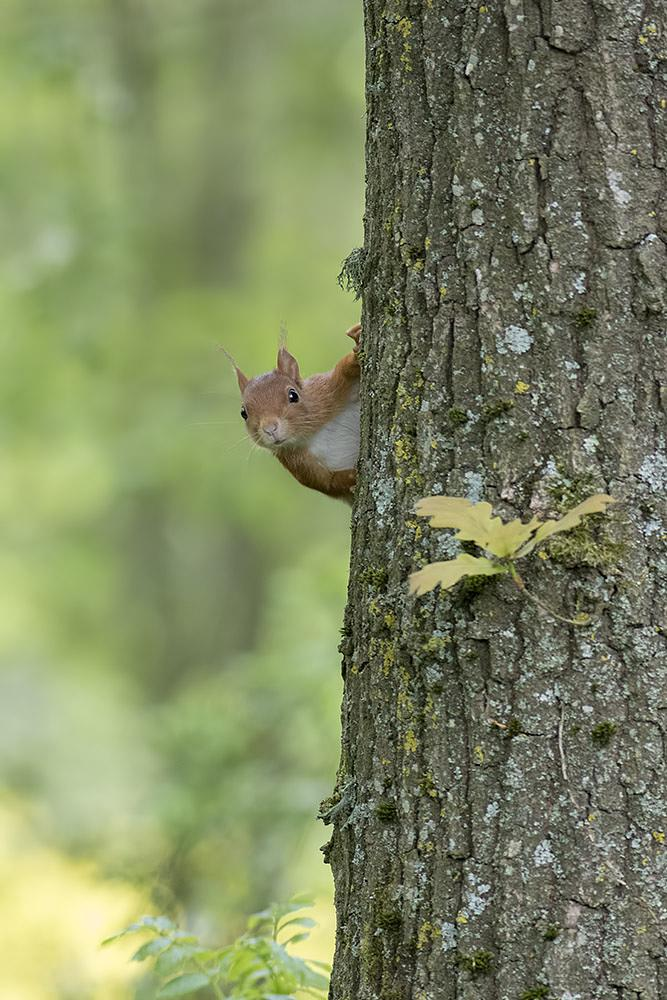 Photo in Animal #squirrel #forest #tree #hiding