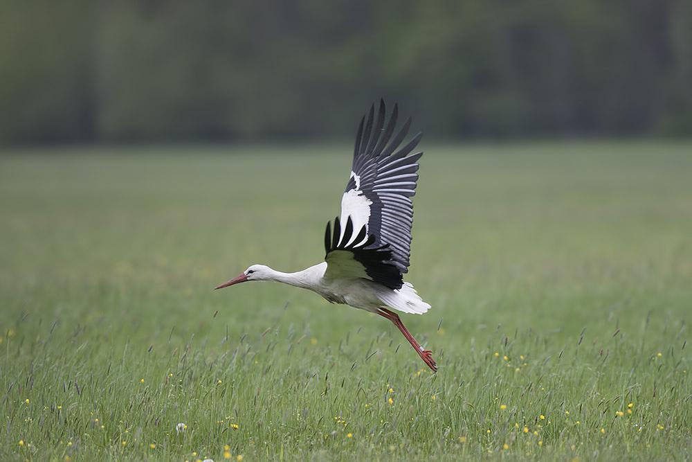 Photo in Animal #france #bird #stork #flying