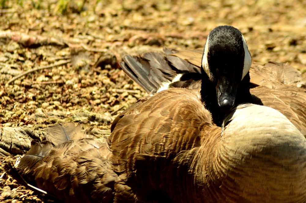 Photo in Nature #bird #duck #summer #feathers #park #outdoors #nature #photography