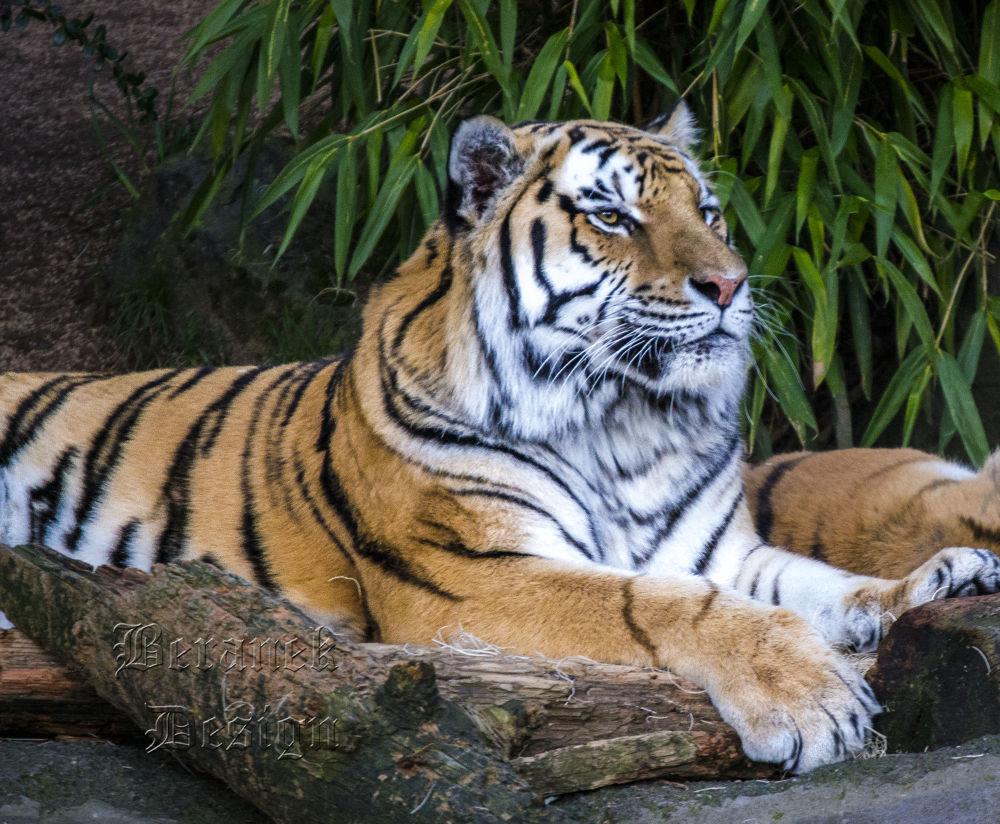 Photo in Animal #tiger #zoo #wildlife #beranekdesign