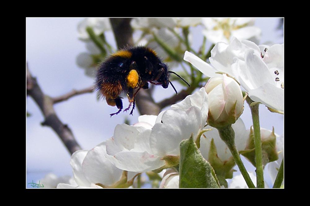 Photo in Macro #bee #cherry #blossom #garden #macro