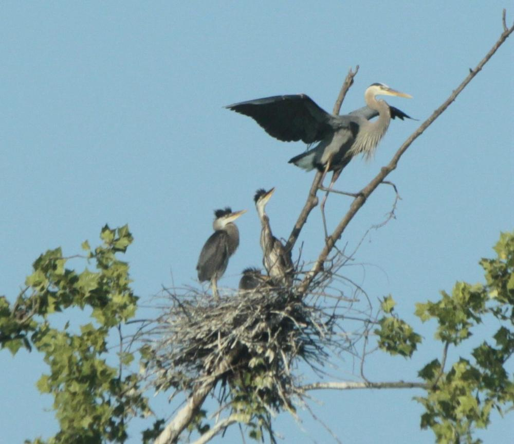 Photo in Animal #heron #babies #birds