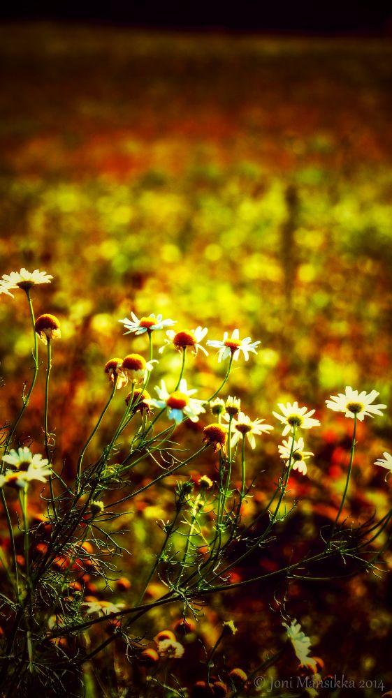 Photo in Nature #nature #wildflowers #daisies #august #summer #sonya35 #flowers
