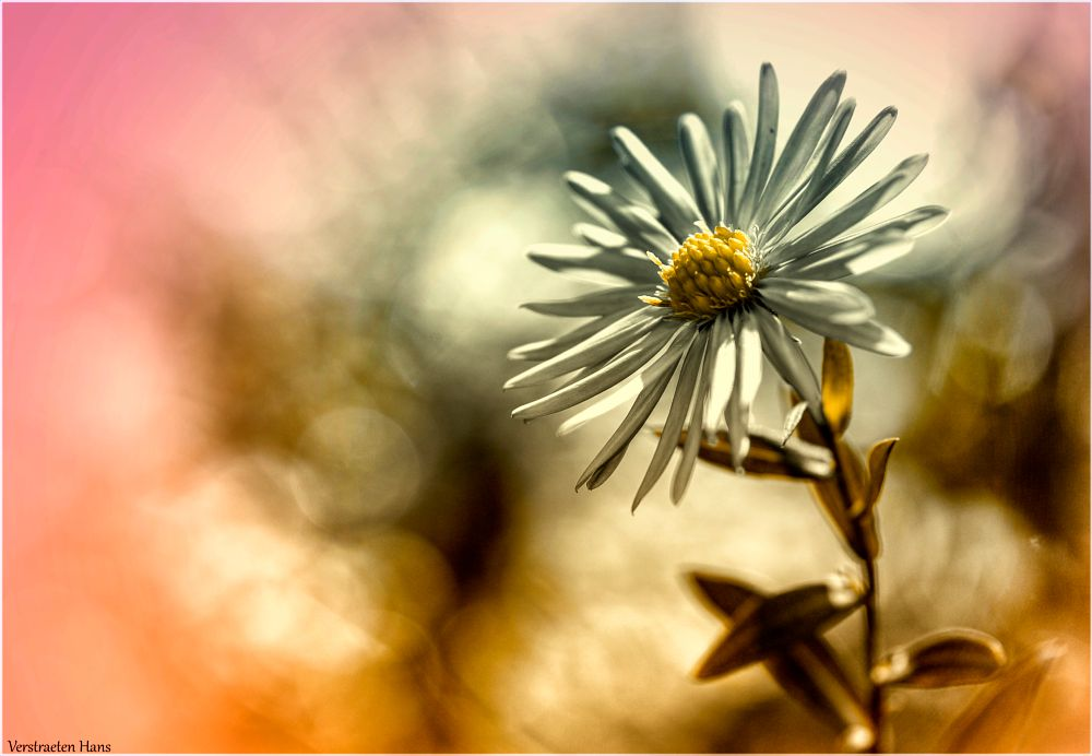 Photo in Macro #colours #flower #daisy #madeliefje