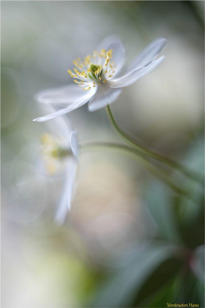 Photo in Macro #soft #dreams #white flower #pistil #blooming #wild flower