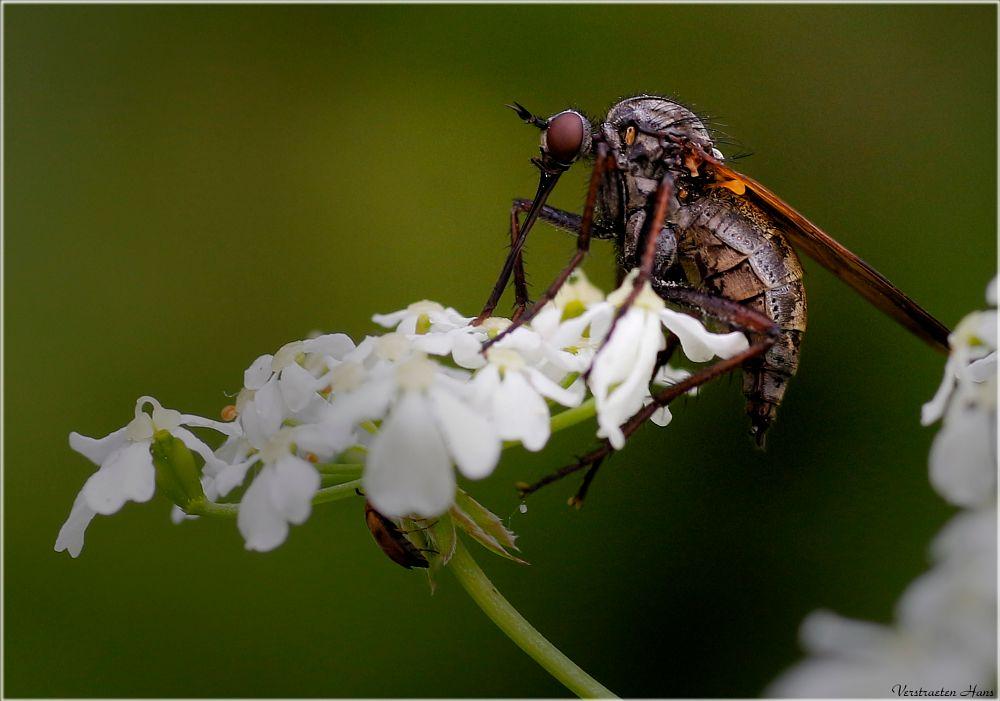 Photo in Macro #vlieg #fly #macro