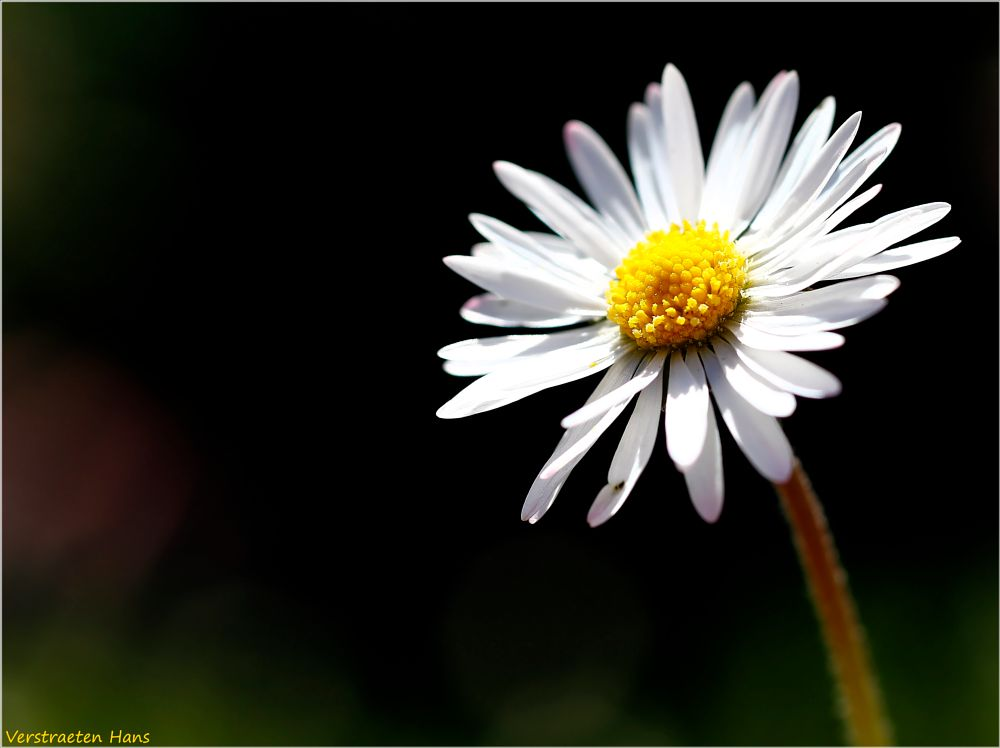 Photo in Macro #daisy #sun #wild flower