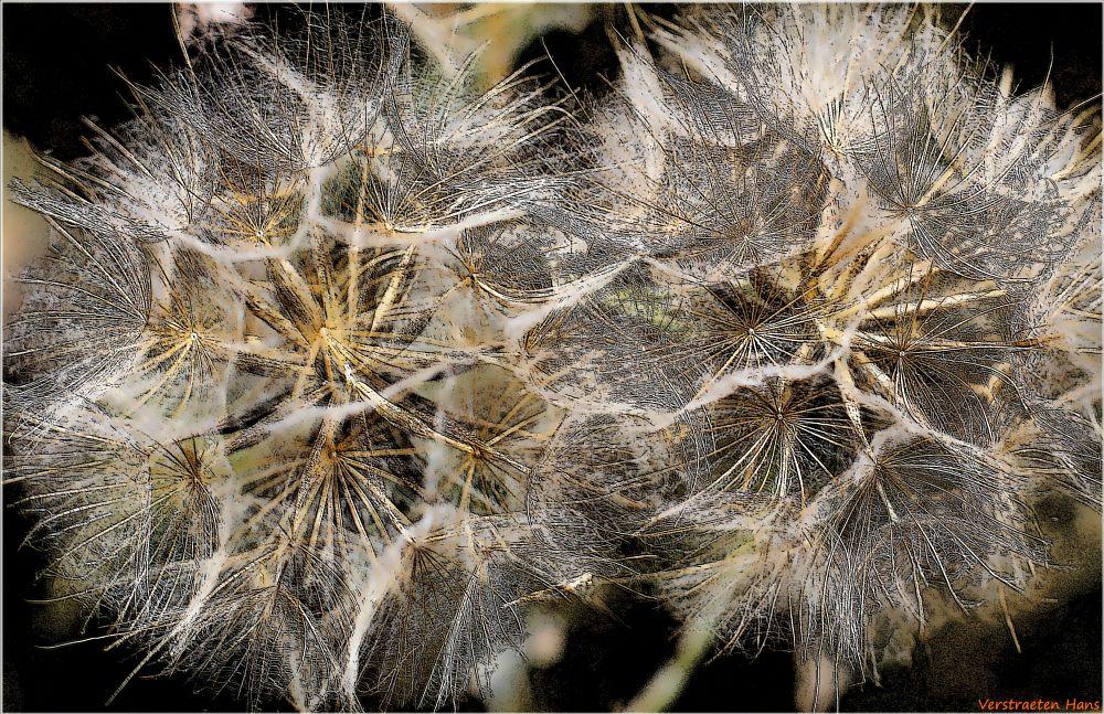 Photo in Macro #vertigo #dandelion #macro