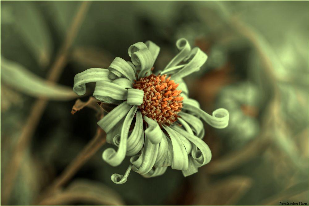 Photo in Macro #curly #lovely #flower #pistil