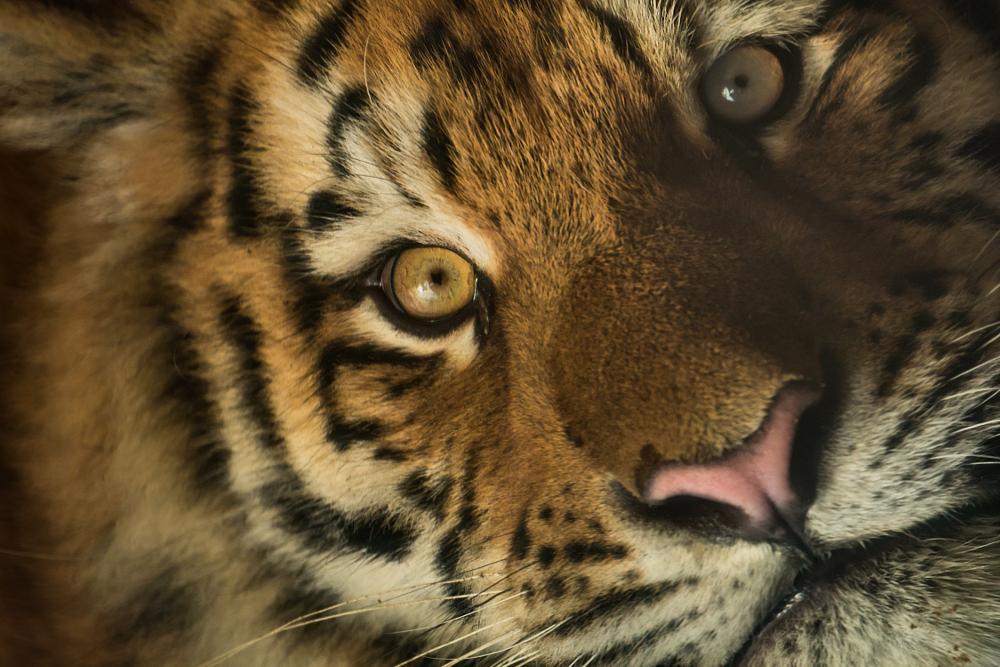 Photo in Animal #zoo #animal #tiger #sony #minolta #a77-ii #mirrorlens