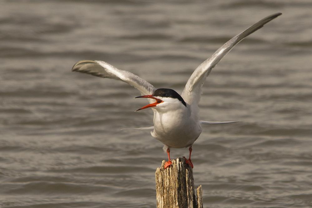 Photo in Animal #common #tern #bird #wildlife