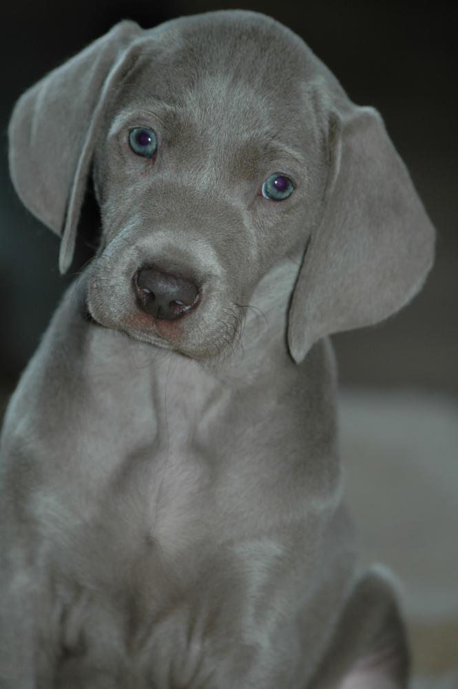 Photo in Animal #pies #wyżeł weimarski #szary #dog