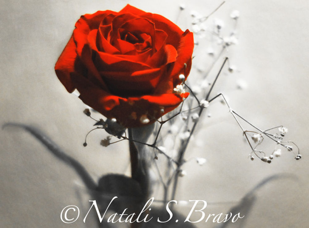 Photo in Still Life #red #rose #love