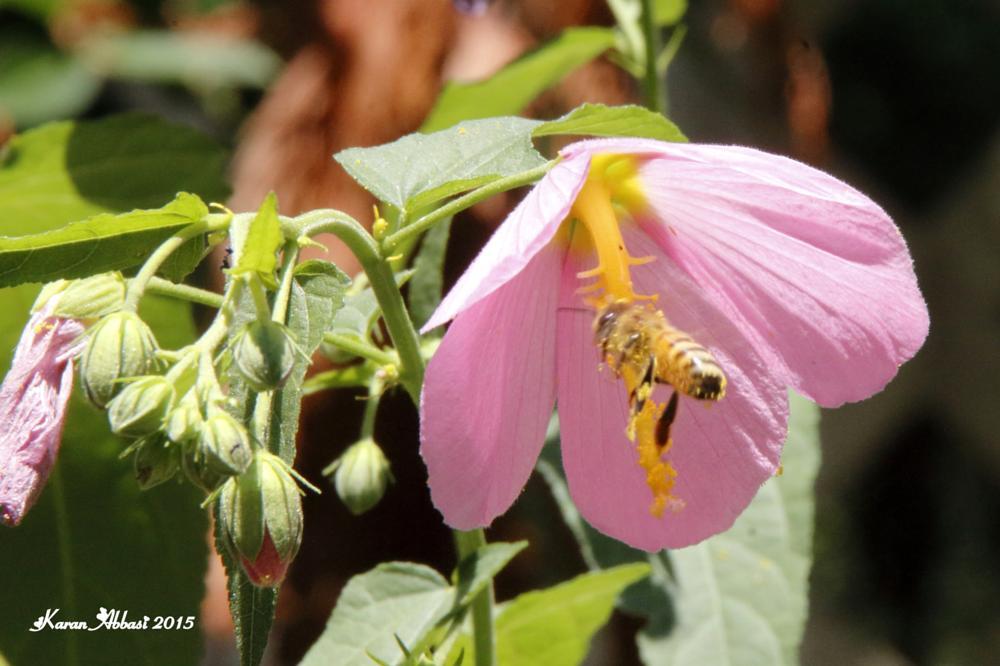 Photo in Macro #honey bee #bee #pollen #summer