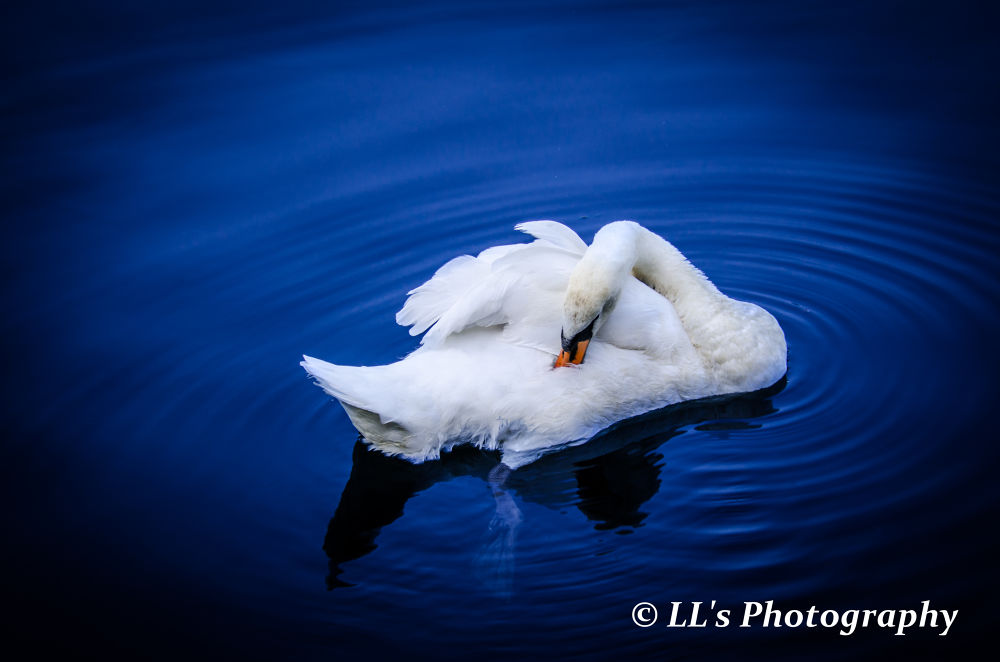 Photo in Random #swan #white #blue #lake #river #water #wildlife #nature #bird #resting #quiet #peaceful #countryside #ypa2013