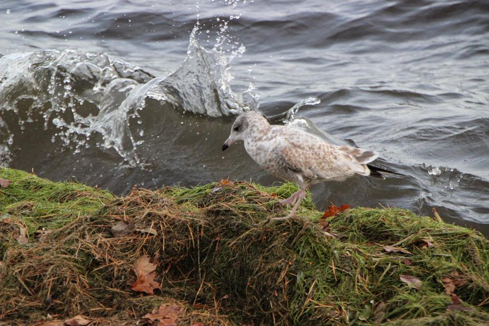 Photo in Animal #seagull #water #lake