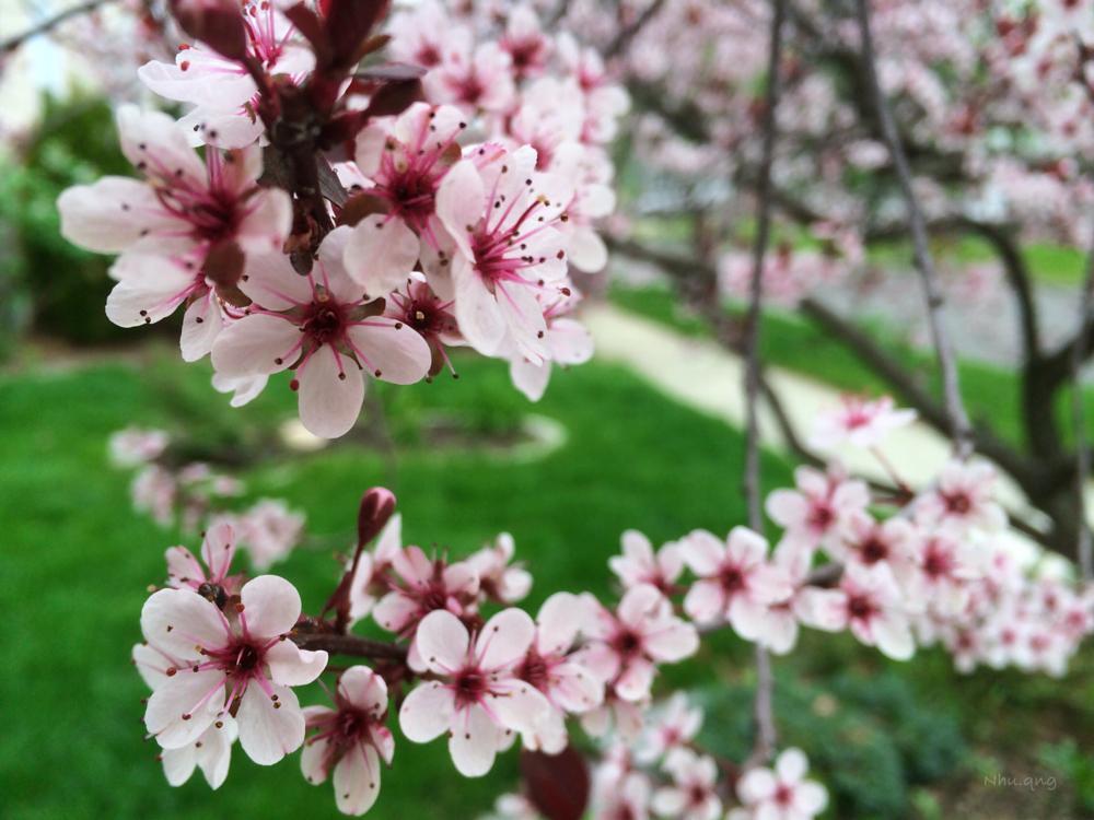 Photo in Nature #sakura #pink #green #grass