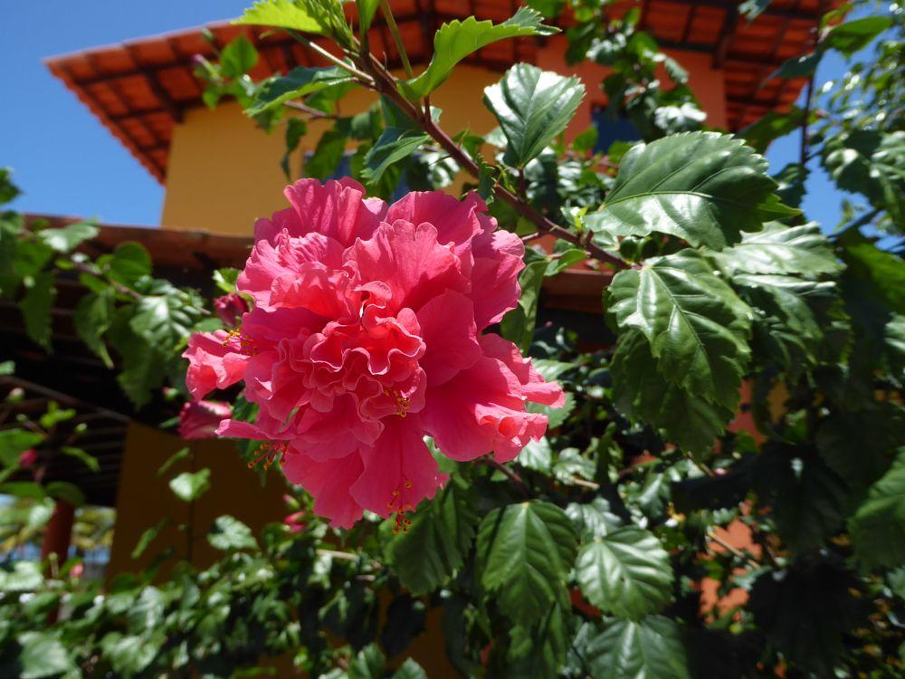 Photo in Nature #hibiscus #bloom #ilheus #bahia #brazil
