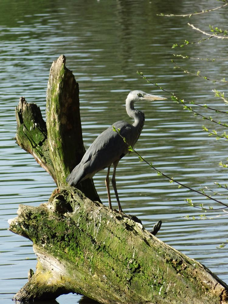 Photo in Nature #heron #reiher #schrevenpark #kiel #germany #deutschland #schleswig-holstein