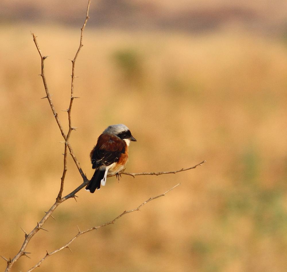 Photo in Nature #bay-back shrike #shrike #nature
