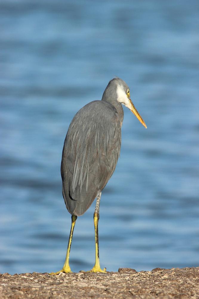 Photo in Nature #reef #egret #bird #nature