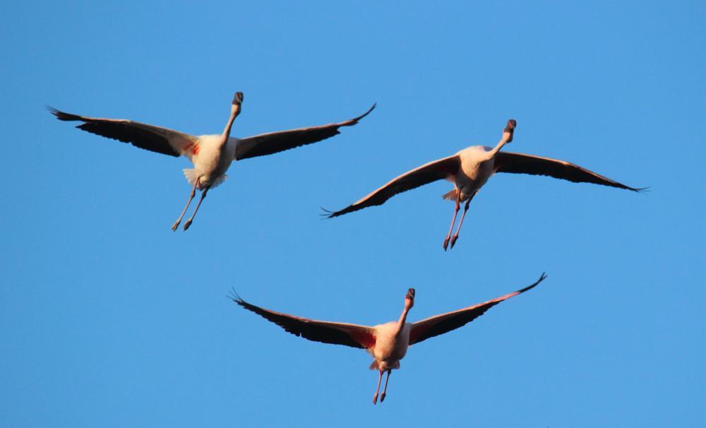 Photo in Nature #flamingos #flight #birds #nature