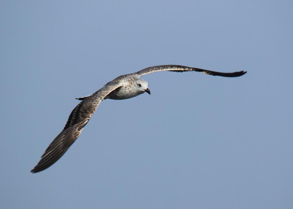 Photo in Nature #seagull #gull #bird #nature