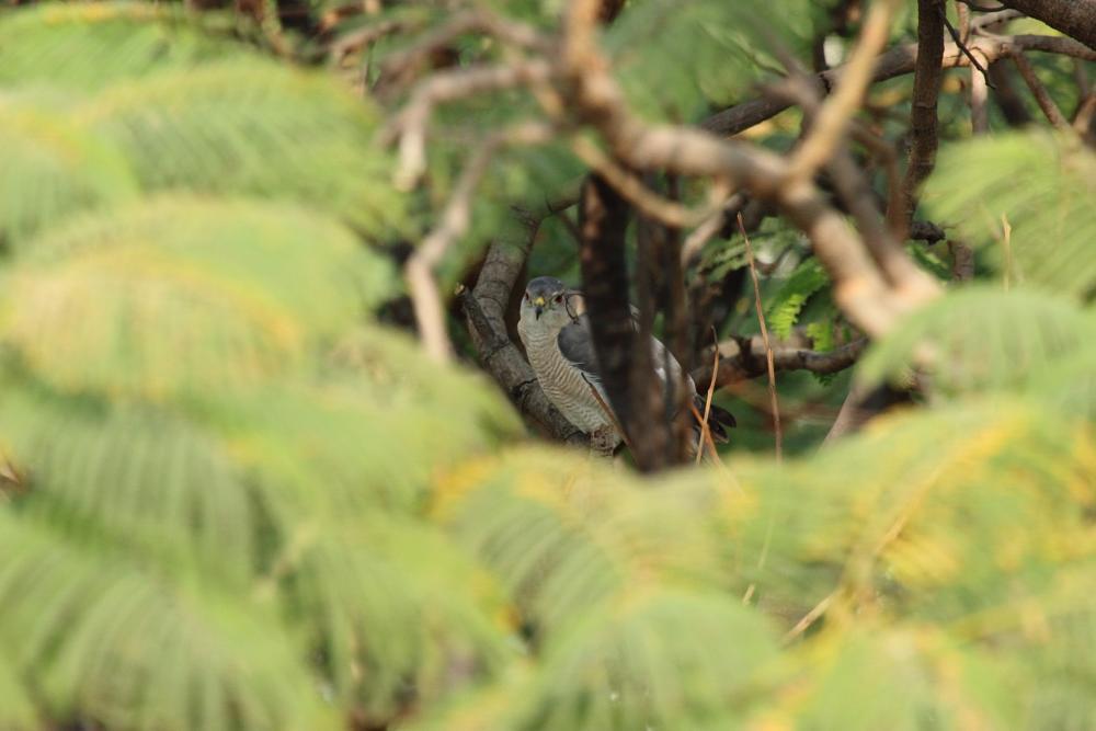 Photo in Nature #shikra #falcon #bird #habitat #nature