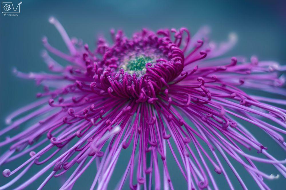 Photo in Nature #spiderchrysanthemum #chrysanthemum #flowersphotography #flowers #winterseason #naturephotography #natureimages #naturecolor #naturepics #naturepicture #macro